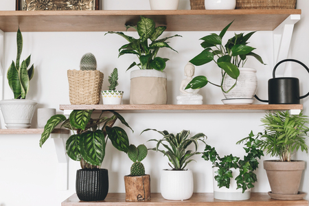Stylish wooden shelves with green plants and black watering can. Modern hipster room decor. Cactus, calathea, dieffenbachia, dracaena, epipremnum, ivy, palm, sansevieria in pots on shelf
