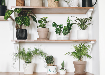 Stylish wooden shelves with green plants and black watering can. Modern hipster room decor. Cactus, asparagus, pothos, calathea,dracaena,ivy, palm, in pots on shelf Stock Photo