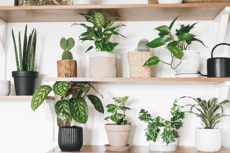 Stylish wooden shelves with green plants and black watering can. Modern hipster room decor. Cactus, dieffenbachia, epipremnum, calathea,dracaena,ivy, peperomia,sansevieria in pots on shelf Stock Photo - 119615683