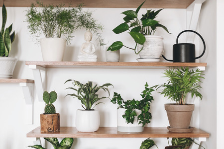 Stylish green plants and black watering can on wooden shelves. Modern hipster room decor. Cactus, asparagus , dracaena, epipremnum pothos, ivy, palm, sansevieria in pots on shelf.