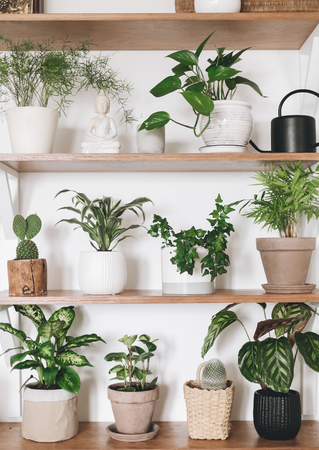 Stylish wooden shelves with green plants and black watering can. Modern hipster room decor. Cactus, pothos, asparagus, calathea, peperomia,dieffenbachia, dracaena, ivy, palm in pots on shelf Stockfoto