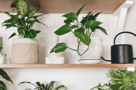 Stylish wooden shelves with green plants and black watering can. Modern hipster room decor. Epipremnum pothos, cactus, dieffenbachia, dracaena,  palm, flower pots on shelf.