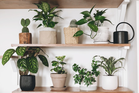 Stylish green plants and black watering can on wooden shelves. Modern hipster room decor. Cactus, dieffenbachia, epipremnum, calathea,dracaena,ivy, peperomia in pots on shelf