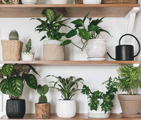 Stylish wooden shelves with green plants and black watering can. Modern hipster room decor. Cactus, calathea, dieffenbachia, dracaena, epipremnum, ivy, palm, flower pots on shelf Stock Photo