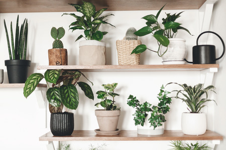Stylish green plants and black watering can on wooden shelves. Modern hipster room decor. Cactus, dieffenbachia, epipremnum, calathea,dracaena,ivy, peperomia,sansevieria in pots on shelf Stock Photo