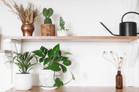 Stylish green plants, black watering can, boho wildflowers on wooden shelves. Modern hipster room decor. Cactus, epipremnum pothos, dracaena flower pots on shelf