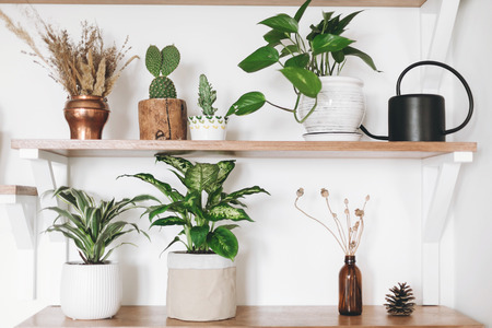 Stylish green plants, black watering can, boho wildflowers on wooden shelves. Modern hipster room decor. Cactus, epipremnum pothos, dracaena, dieffenbachia flower pots on shelf Stok Fotoğraf