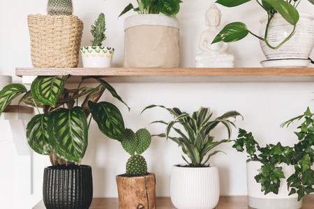 Stylish wooden shelves with green plants and black watering can. Modern hipster room decor. Cactus, calathea, dracaena, epipremnum, ivy, palm flower pots on shelf. Stock Photo