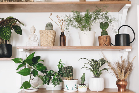 Stylish wooden shelves with green plants and black watering can. Modern hipster room decor. Cactus, epipremnum pothos, asparagus, calathea, peperomia,dracaena, palm in pots on shelf