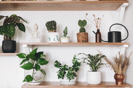 Stylish green plants, black watering can, wildflowers and budha statue on wooden shelves. Modern hipster room decor. Cactus, epipremnum, calathea,dracaena,ivy in pots on shelf