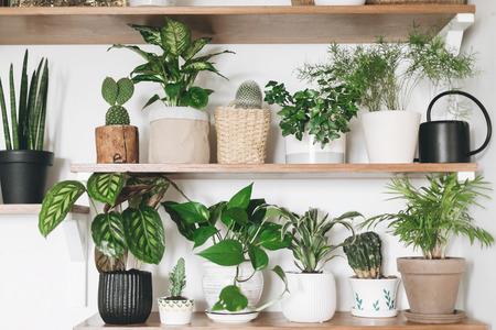 Stilvolle Holzregale mit grünen Pflanzen und schwarzer Gießkanne. Moderne Zimmereinrichtung. Kaktus, Dieffenbachia, Spargel, Epipremnum, Calathea, Dracaena, Efeu, Palme, Sansevieria in Töpfen im Regal