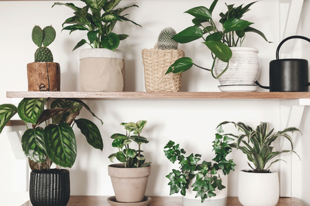 Stylish wooden shelves with green plants and black watering can. Modern hipster room decor. Cactus, dieffenbachia, epipremnum, calathea,dracaena,ivy, peperomia in pots on shelf Stock Photo