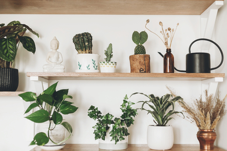 Stylish wooden shelves with green plants, black watering can, wildflowers and budha statue. Modern hipster room decor. Cactus, epipremnum, calathea,dracaena,ivy in pots on shelf