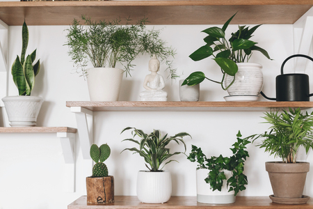 Stylish wooden shelves with green plants and black watering can. Modern hipster room decor. Cactus, asparagus , dracaena, epipremnum pothos, ivy, palm, sansevieria in pots on shelf.