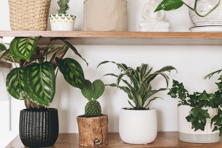 Stylish  green plants and black watering can on wooden shelves. Modern hipster room decor. Cactus, calathea, dracaena, epipremnum, ivy, palm flower pots on shelf.