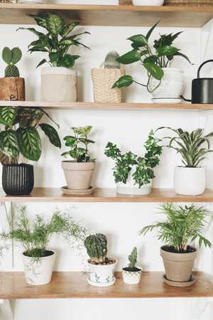 Stylish wooden shelves with green plants and black watering can. Modern hipster room decor. Cactus, pothos, asparagus, calathea, peperomia,dieffenbachia, dracaena, ivy, palm in pots on shelf Stock Photo