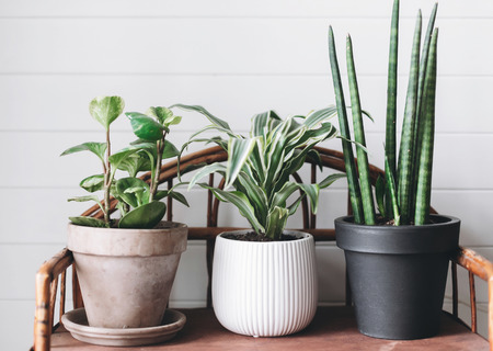 Stylish green plants in pots on wooden vintage stand on background of white rustic wall. Modern room decor. Peperomia, sansevieria, dracaena plants