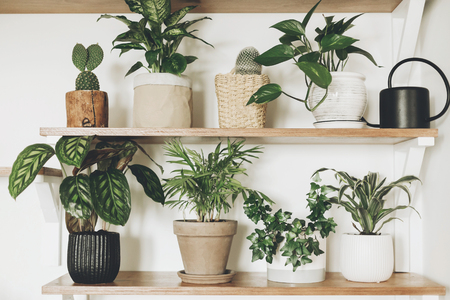Stylish  green plants and black watering can on wooden shelves. Modern hipster room decor. Cactus, dieffenbachia, epipremnum, calathea,dracaena,ivy, palm in pots on shelf