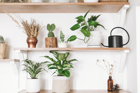 Stylish green plants, black watering can, boho wildflowers on wooden shelves. Modern hipster room decor. Cactus, epipremnum pothos, dracaena, dieffenbachia flower pots on shelf Stock Photo
