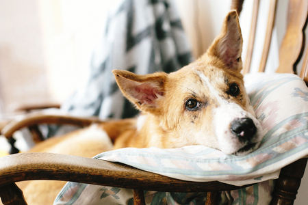 Cute golden dog resting in wooden chair at home. Doggy sleeping on cozy blanket in chair, funny moment. Comfortable place. Adoption concept