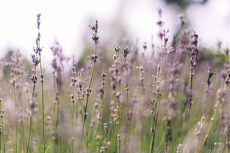 Beautiful lavender flowers closeup in sunny morning light in meadow. Lavender field in mountains. Aroma herbs. Atmospheric calm rural image. Space for text Stockfoto