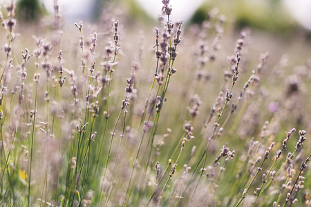 Beautiful lavender flowers closeup in sunny light in meadow. Lavender field in mountains. Aroma herbs. Atmospheric calm rural image. Space for text Stock fotó