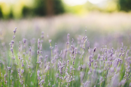 Beautiful lavender flowers closeup in sunny morning light in meadow. Lavender field in mountains. Aroma herbs. Atmospheric calm rural image. Space for text Stock fotó