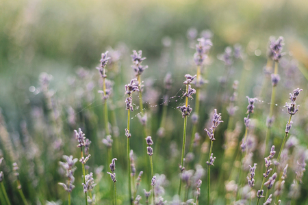 Beautiful lavender flowers with morning dew on spider web close up in sunny light in meadow. Lavender field in mountains. Aroma herbs. Atmospheric calm rural image. Space for text