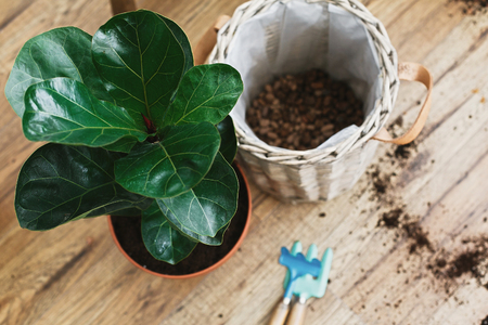 Repotting fiddle leaf fig tree in big modern pot. Ficus lyrata leaves and pot, drainage,garden tools, soil on wooden floor. Process of planting new house tree