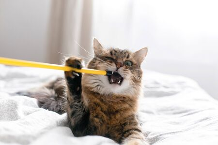 Maine coon cat playing and biting toy on white bed in sunny stylish room. Cute cat with green eyes lying and playing with funny emotions on comfortable bed. Space for text