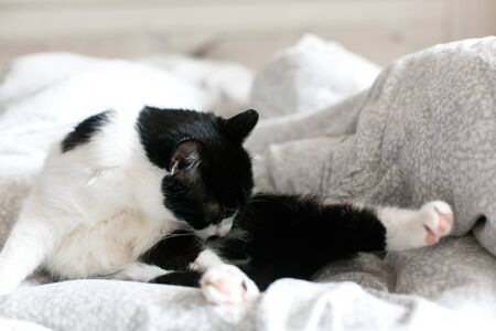 Cute cat with moustache grooming on bed. Funny black and white kitty licking and cleaning butt on stylish sheets. Space for text.  Comfortable  moment