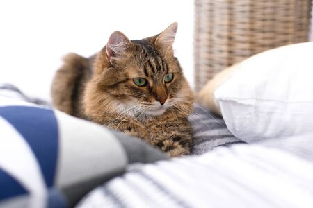 Cute cat sitting among pillows and relaxing at window in stylish room. Maine coon with serious emotions and funny expression looking with green eyes. Space for text. Fun moment