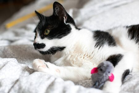 Cute black and white cat with moustache playing with mouse toy on bed. Funny kitty resting and playing on stylish sheets. Space for text.  Funny playful cat. Comfortable and cozy moment