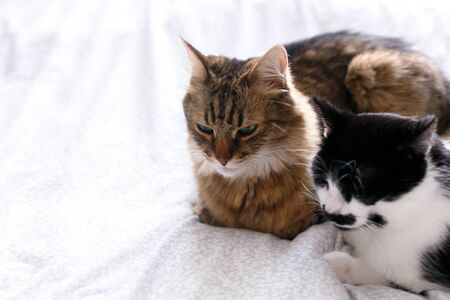 Two cute cats sitting and relaxing on white bed in sunny stylish room. Maine coon and cat with moustache resting with funny emotions on comfortable bed. Friends pets. Space for text Reklamní fotografie - 124773435