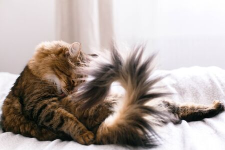 Maine coon cat grooming and lying on white bed in sunny bright stylish room. Cute cat with green eyes and with funny adorable emotions licking and cleaning fur. Space for text Reklamní fotografie - 124773654