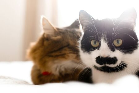 Two cute cats sitting and relaxing on white bed in sunny stylish room. Maine coon and cat with moustache resting with funny emotions on comfortable bed. Friends pets. Space for text Reklamní fotografie - 124773668