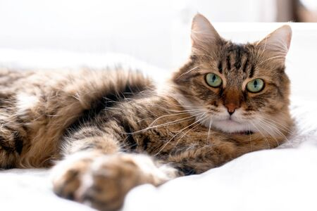 Cute cat relaxing on white bed in sunny bright stylish room. Maine coon with green eyes lying and looking with funny emotions on comfortable bed. Space for text