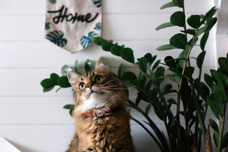 Cute cat sitting under green plant branches and relaxing on wooden shelf on white wall backgroud in stylish room. Maine coon with green eyes looking  with funny emotions. Space for text Reklamní fotografie - 124773670