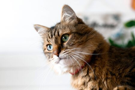 Cute cat sitting under green plant branches and relaxing on wooden shelf on white wall backgroud in stylish room. Maine coon with green eyes looking with with funny emotions. Space for text