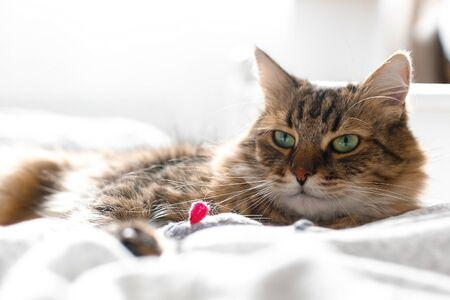 Gato de Maine coon jugando con el juguete del ratón en la cama blanca en la elegante habitación soleada. Lindo gato con ojos verdes acostado y jugando con emociones divertidas en una cama cómoda. Espacio para texto