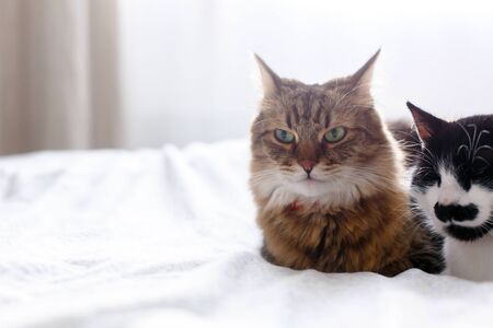 Maine coon and cat with moustache resting with funny emotions on comfortable bed. Friends pets. Space for text. Two cute cats sitting and relaxing on white bed in sunny stylish room Stock Photo
