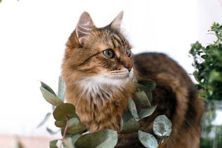 Maine coon looking with green eyes and smelling eucalyptus. Cute cat sitting among green eucalyptus branches and relaxing at window in stylish room. Space for text
