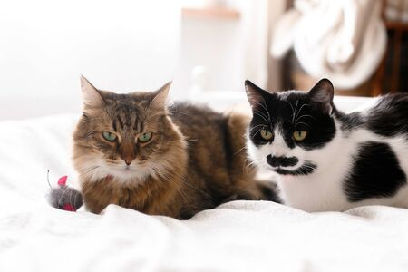 Two cute cats sitting with toy mouse on white bed in sunny stylish room.Maine coon and black and white cat with moustache relaxing with funny faces on comfortable bed. Space for text Stock Photo