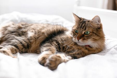 Maine coon cat lying and relaxing on white bed in sunny bright stylish room. Cute cat with green eyes and with funny adorable emotions resting on comfortable bed. Space for text