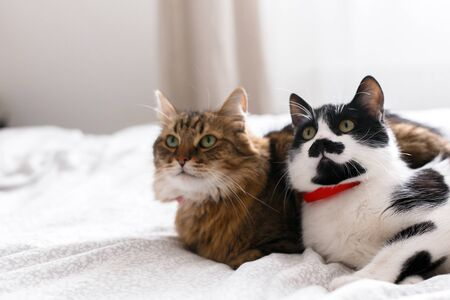 Two cute cats sitting and relaxing on white bed in sunny stylish room. Maine coon and cat with moustache resting with funny emotions on comfortable bed. Friends pets. Space for text