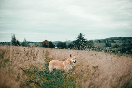 Beautiful dog standing in sunny meadow on background of wooden house on hills  in mountains. Rural simple life in countryside, . Atmospheric image. Travel with pets