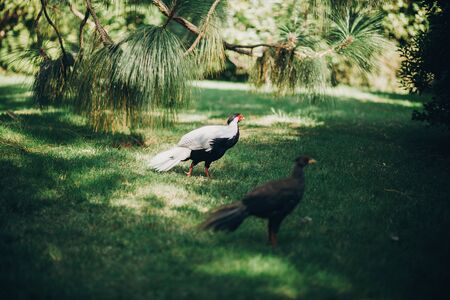 Beautiful pheasants walking in sunny botanical garden, on Borromean Islands on Lago Maggiore, Stresa city, Italy. White pheasant bird with red head and brown pheasant