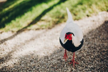 Beautiful pheasants walking in sunny botanical garden, on Borromean Islands on Lago Maggiore, Stresa city, Italy. White and black pheasant bird with red head. Fauna in Europe Stock Photo
