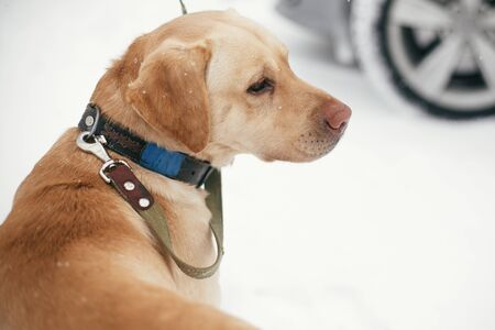 Cute golden labrador walking with owner in snowy winter park. Mixed breed labrador on a walk with person at shelter. Adoption concept. Stray dog Stock Photo - 128204726