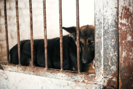 Cute scared dog looking from cage bars at old shelter, waiting for someone to adopt. Little german shepherd puppy at shelter in old barn. Adoption concept. Stray doggy